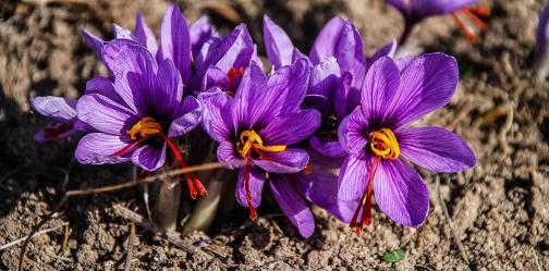 saffron-1136778_1920